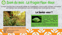 Le fragon faux-houx